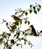 Gold Finches in a Tree Stock Photography