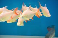 Gold fischt Schwimmen Lizenzfreies Stockfoto
