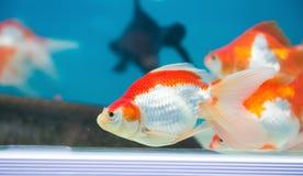 Gold fischt Schwimmen Stockfoto