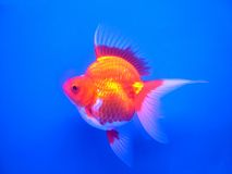 Gold fish#1. A goldfish swimming in an aquarium Royalty Free Stock Images