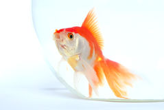 Free Gold Fish Stock Image - 10164211