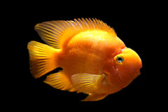 Gold fish. With dark background Stock Image
