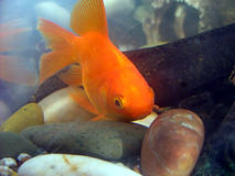 Gold fish. Close up gold fish stock image
