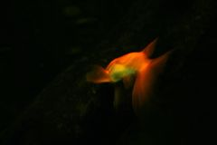 Gold fish. A gold fish in the dark Stock Photos