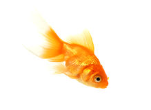 Gold Fish. A portrait of a gold fish wimming under water Royalty Free Stock Image