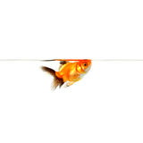 Gold Fish. A portrait of a gold fish wimming to the water level Stock Photos