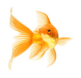 Gold fish. Isolated on white Stock Image