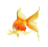 Gold fish. Isolated on white Royalty Free Stock Photography