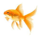 Gold fish. Isolated on white Royalty Free Stock Photos