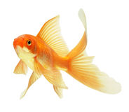 Free Gold Fish Royalty Free Stock Photo - 11710485
