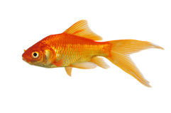 Gold Fish. Swimming isolated on a white background Stock Image