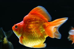 Gold Fish. Goldfish in an aquarium at a pet shop Stock Image
