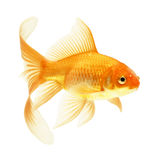 Gold fish. Isolated on white Stock Images
