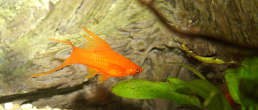 Gold Fish. In natural environment Stock Photography