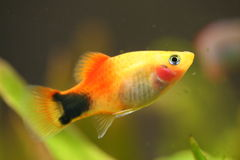 Gold fish. A small colorful fish swimming in water Royalty Free Stock Images