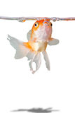 Gold fish. A portrait of a gold fish wimming to the water level Stock Photography