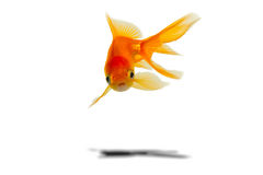Free Gold Fish Stock Images - 16021144