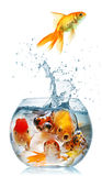 Gold Fish Royalty Free Stock Photo