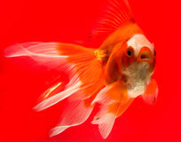 Gold fish. In the aquarium at the red background Stock Photography