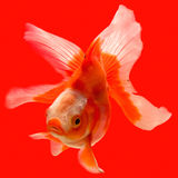 Gold fish. In the aquarium at the red background Royalty Free Stock Image