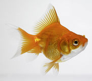 Free Gold Fish Stock Photography - 2001732