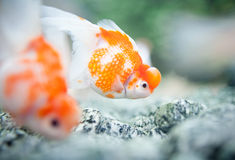 Free Gold Fish Royalty Free Stock Image - 20599246