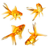 Gold fish. Isolation on the white Royalty Free Stock Photo