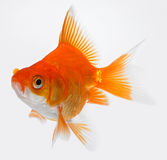 Gold fish. The pretty little gold fish royalty free stock photo