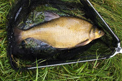 Gold fish. Fresh-caught gold bream in the landing-net stock photography