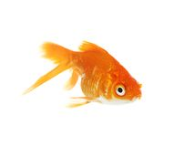 Gold fish. Royalty Free Stock Photos