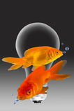 Gold Fish. Gold fish swimming around light bulb Stock Image