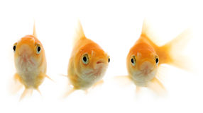 Gold fish. Isolated of the gold fish on white Stock Images