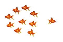 Gold fish. Group on headed in a different direction Stock Photography