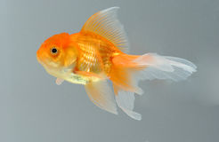 Gold fish. A lonely little gold fish