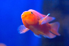 Gold fish. A gold tropical fish in blue water royalty free stock photography