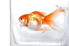 Gold fish Stock Photography
