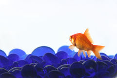 Gold Fish. With blue rocks with white background Royalty Free Stock Images