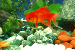 Gold fish. Close up of gold fish in a beautifully decorated aqarium with rocks and colored stones Royalty Free Stock Image