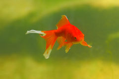 Gold Fish Stock Photo