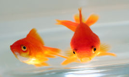 Gold fish. Two gold fish in glass pot Stock Photos