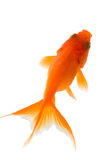 Gold fish. A red isolated gold fish Stock Image