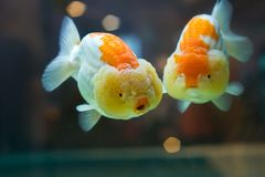 Gold fish. Es with chubby&funny face and red lips Stock Photo