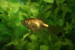 Gold fish. In an aquarium Stock Image