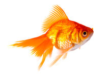 Gold fish. Royalty Free Stock Photo