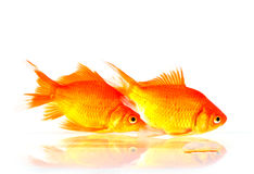 Gold fish. Two gold fish swimming on water Royalty Free Stock Photos