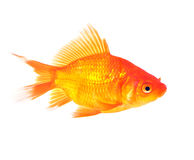 Gold fish. Lovely pretty gold fish on isolated background Royalty Free Stock Photography