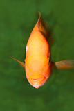 Gold Fish. Beauty of marine life stock photography
