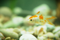 Gold fish in aquarium Stock Images