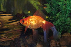 Gold fish in aquarium Royalty Free Stock Images