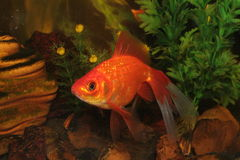 Gold fish in aquarium Stock Photos
